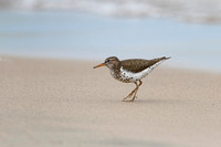 Spotted Sandpiper on a Lake Huron Beach