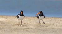 Pair of American Oystercatchers on a Beach