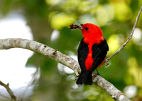 Male Scarlet Tanager Eating Mulberries