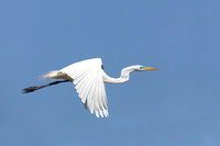 Great Egret in Breeding Plumage Flying Against a Blue Sky