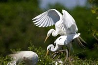 Great Egrets Copulating at their Nest