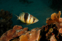 Barred Hamlet Swimming over a Coral Reef