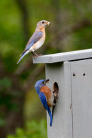 Pair of Eastern Bluebirds at Nestbox