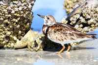 Ruddy Turnstone Foraging for Barnacles