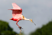 Roseate Spoonbill Perched in a Tree