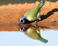 Green Jay (Cyanocorax yncas) Drinking at a Pond - Texas