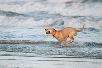 Dog Retrieving a Tennis Ball From the Ocean