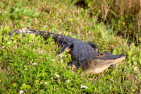 American Alligator Basking in the Sun - Florida