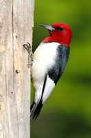 Red-headed Woodpecker on a Dead Tree