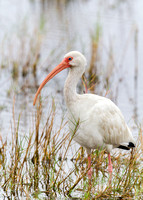 White Ibis Wading in a Shallow Marsh