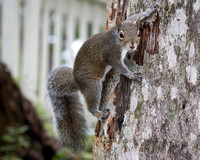 Eastern Gray Squirrel Clinging to a Tree Trunk