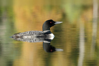 Common Loon on a Lake in Autumn - Haliburton, Ontario