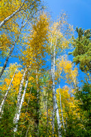 White Birch Trees (Betula papyrifera) in Autumn Against a Blue S