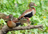 Black-bellied Whistling Ducks on a Tree Branch - Panama