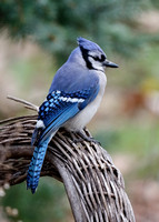 Blue Jay perched on a wicker chair