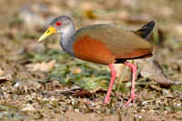 Gray-Necked Wood Rail - Panama