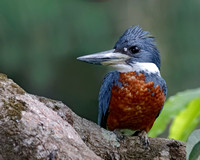 Ringed KIngfisher Perched in a Tree - Panama