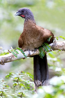 Gray-headed Chachalaca Perched in a Tree in Panama