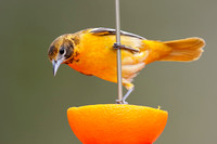 Female Baltimore Oriole feeding on an orange