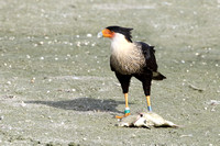Crested Caracara Scavenging a Fish - Florida
