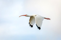 White Ibis in Flight - Florida