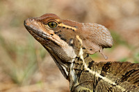 Closeup of a Jesus Christ Lizard - Panama