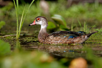 Male Wood Duck in Eclipse Plumage - Summer