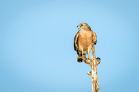 Red-shouldered Hawk perched on a dead tree - Florida