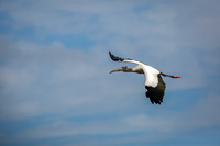 Wood Stork in Flight - Florida