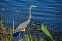 Great Blue Heron Stalking its Prey at the Edge of a Florida Pond