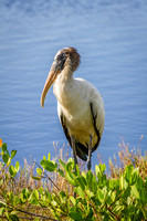Wood Stork Wading in a Marsh - Florida
