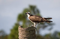 Osprey Eating a Fish - Melbourne, Florida