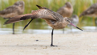 Marbled Godwit Stretching a Wing and Leg - Florida