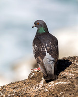 Rock Pigeon perched next to the Pacific Ocean - California