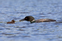A Common Loon carries a freshly caught fish to its chick - Ontar