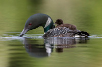 A week-old Common Loon chick  rides on its mother's back on a Ca