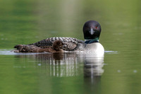 A week-old Common Loon chick swims next to its mother on a Canad