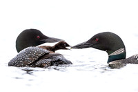 A week-old Common Loon chick  emerges from under its mother's wi