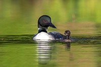 A week-old Common Loon chick practising its swimming skills as i