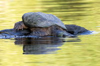 Common Snapping Turtle slipping into the water - Ontario, Canada