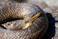 Northern Water Snake (Nerodia sipedon sipedon) basking on a rock