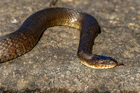 Northern Water Snake (Nerodia sipedon sipedon) flicking its tong