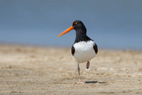 American Oystercatcher on a Texas Beach