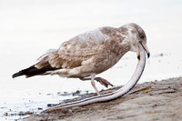 Immature Herring Gull (Larus argentatus) trying to swallow an eel