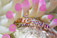 Spotted Cleaner Shrimp - Bonaire, Netherlands Antilles