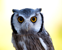 Closeup of a Northern White-faced Owl