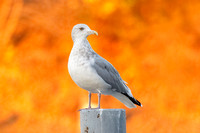 Herring Gull on a Post with Autumn Foliage in Background