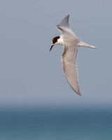 Common Tern hovering over Lake Huron - Ontario, Canada