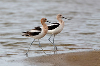 Pair of American Avocets on a Beach