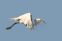 Great Egret in Flight Carrying a Branch for its Nest